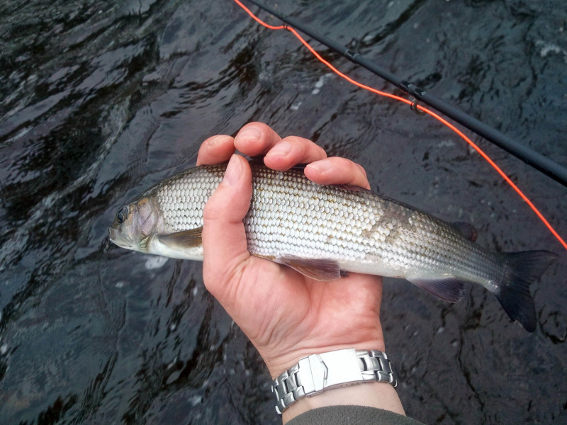Grayling on the Wharfe